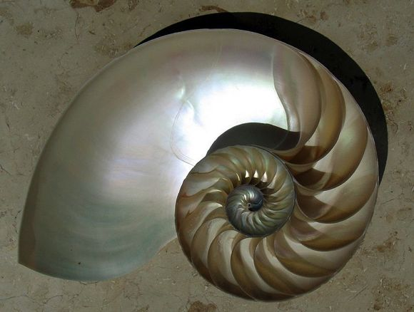 Cutaway of a nautilus shell showing the chambers arranged in an approximately logarithmic spiral. Image via Wikipedia's Mathematics Portal.