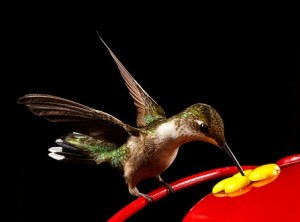 Top 28 hummingbirds eat ten amazing things about the for Kodi weihnachtsbaum