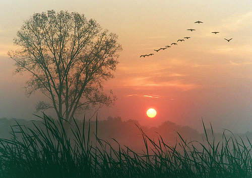 Pink sunrise with yellow sun, one tall bare tree and lines of big birds in flight, tall grass in foreground.