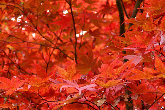 Close-in view of red-orange maple leaves with black twigs.