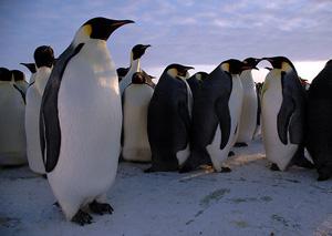 15800_penguins_300