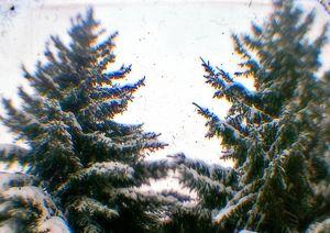 evergreen_tree_300