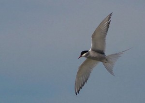 Arctic Tern in flight via Wikimedia Commons