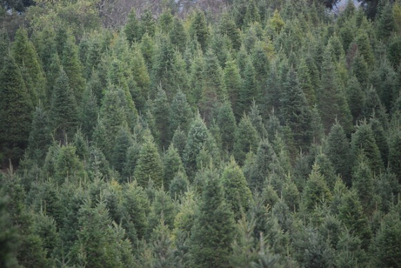 evergreen trees conifers