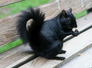 Black squirrels featured on Lifeform of the week   Earth