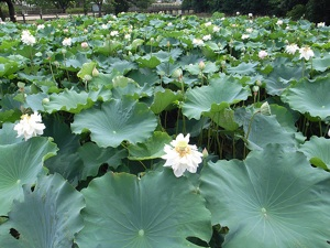 Lotus leaves inspired a new self-cleaning paint.  Image Credit: matsuyuki