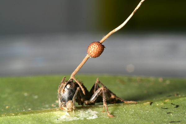 Image result for zombie ant