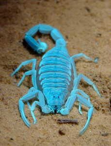Striped bark scorpions featured on Lifeform of the Week