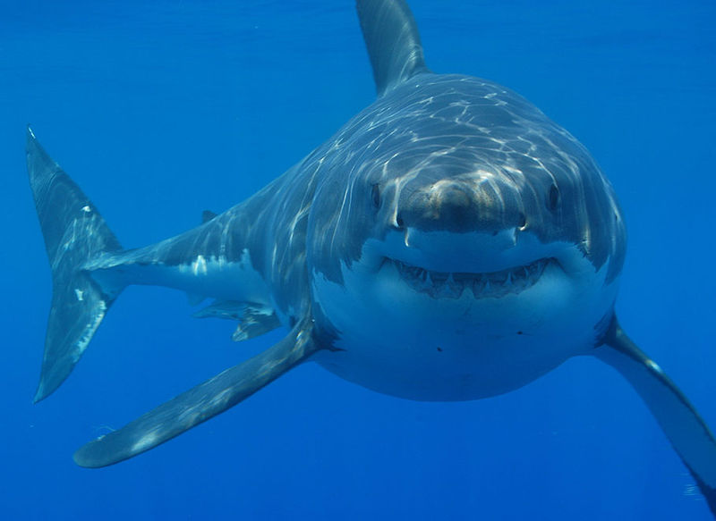 How To Attract Lots Of Sharks And Count Them Earth Earthsky