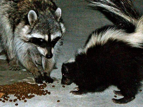 Cat food + cat door = wild animals in your house. Image via Piepie.