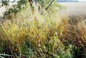 Switchgrass might be harvested for biofuels in the U.S. Southwest.