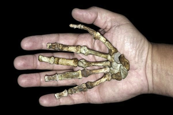 Near-intact right hand skeleton of newly discovered A. sediba held by modern human counterpart.