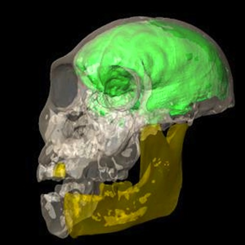 The brain of A. sediba was about the size of a grapefruit, according to this virtual endocast generated using medical imaging based on CT scans.