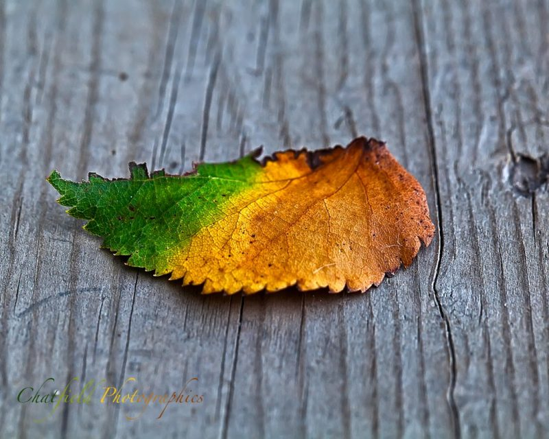 Half-green half-yellow withering leaf lying on gray weathered wood.