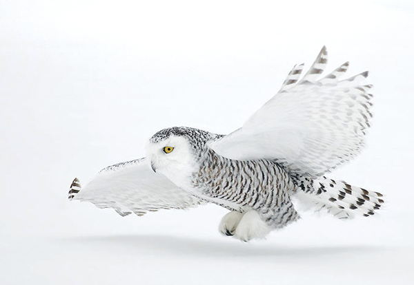 Snowy Owl on a snowy day. Image via David Hemmings.