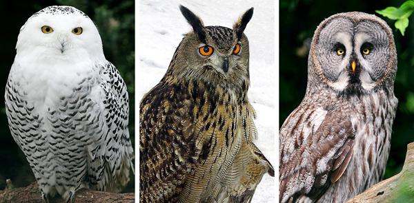 Left-right: Snowy, Eagle, and Great Grey. Image via pe_ha45, Kamil, and Tambako The Jaguar