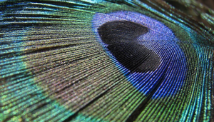 peacock_feather_590