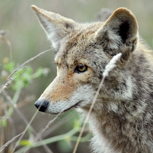 identifying wolf vocalization and its purpose Ongoing activity and possible vocalizations recorded near detroit metro airport  was possibly a wolf) now that you think it may be a saqsuach  on the property .