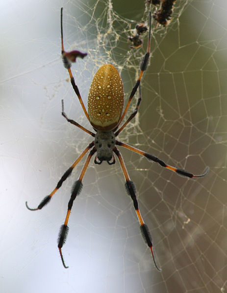 Genes Can Have Up To 80 Percent >> Huge brains of tiny spiders overflow to legs   Human World ...