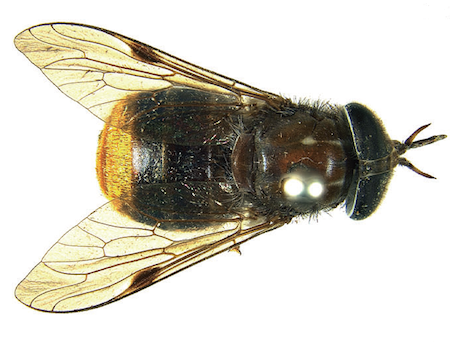 'Beyoncé fly' shows the fun side of taxonomy, the naming of species.