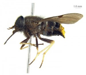 The fly with the golden bottom, named after singer Beyoncé.