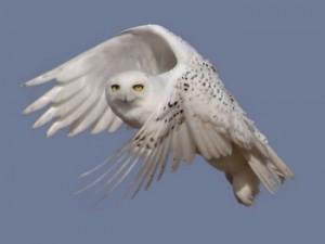 Snowy owl sighting soar this winter. (USFWS)