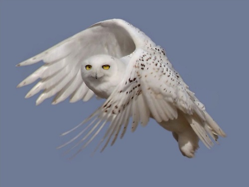 Snow owl sighting soar this winter. (USFWS)
