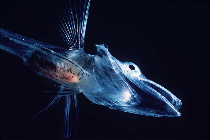 Antarctic icefish have translucent bodies and blood ...