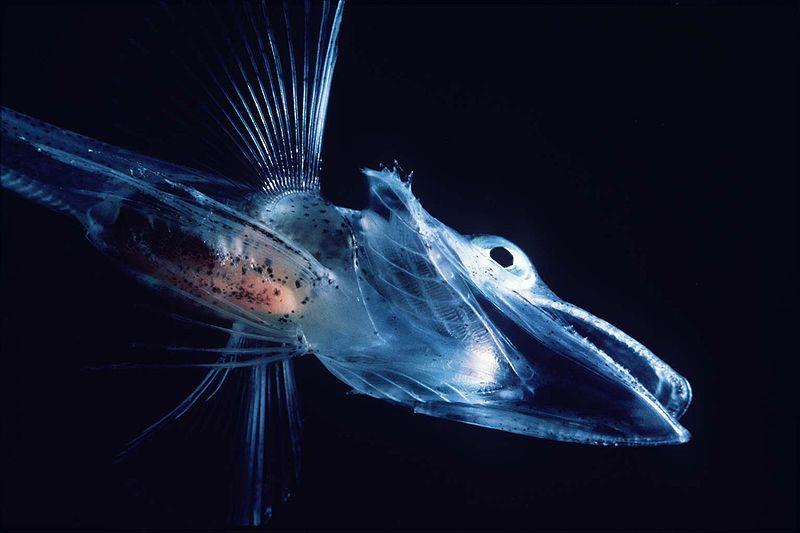 Ледена риба (Ice Fish) - Първи Български Зоопортал  |Antarctic Icefish
