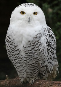 Snowy owls are in Kansas anymore, according to reports early 2012. (USFWS)