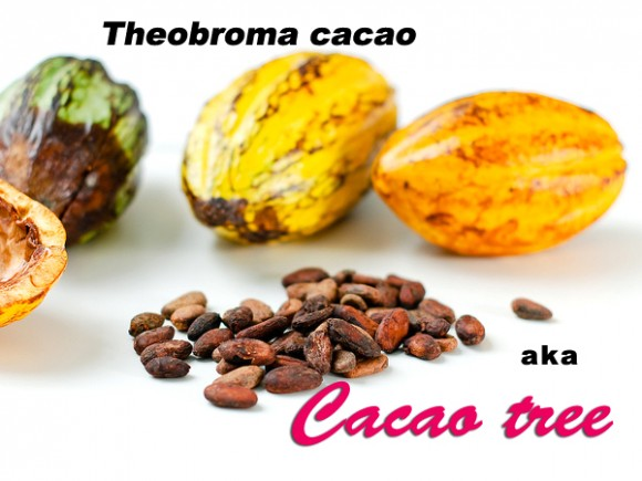 Lifeform of the week: From cacao tree to chocolate valentine | EarthSky.org