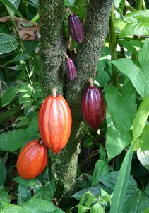 Lifeform of the week: From cacao tree to chocolate valentine