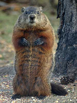 how accurate is punxsutawney phil find out on earthsky earth