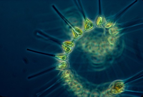 Phytoplankton - the foundation of the oceanic food chain. image via NOAA