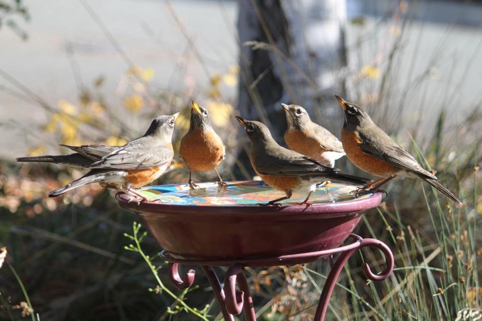 Best pics from earthsky facebook friends of backyard bird count robins publicscrutiny Choice Image