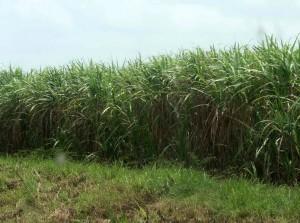 Sugarcane field. Photo credit: muller.lbl.gov