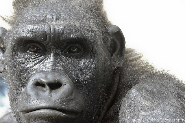 gorilla research paper Great apes & other primates news exhibit facts science meet the primates related resources adopt a gorilla or golden lion tamarin human origins program at.