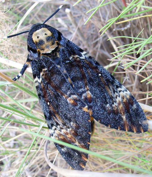 Looks rather like a cloaked skeleton, no? Image via Siga