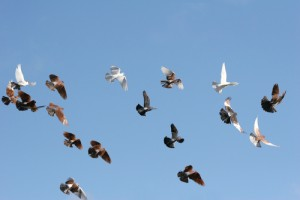 Doves and pigeons in flight.  Image via Shutterstock