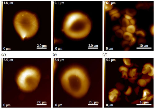 Oldest known red blood cells, imaged by atomic force microscopy.