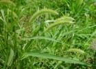 Green foxtail via Missouriplants.com