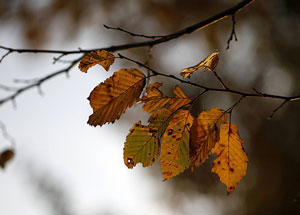 autumnleaves_flickr_300