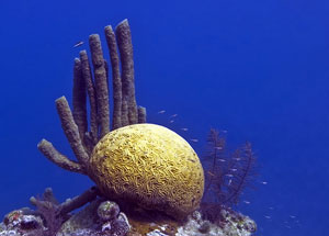 caribbeancoral_flickr_300