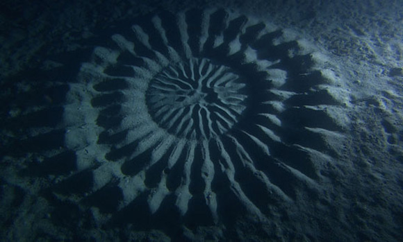 Underwater crop circle mystery earth earthsky for Japanese puffer fish
