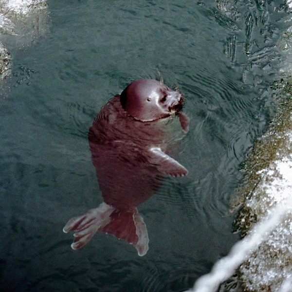 Reddish seal floating upright in water next to steep shoreline.