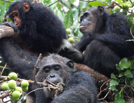 humans and chimpanzees are similar Chimpanzees and humans share a common  home » chimpanzees » our primate family  the richness of their personalities is strikingly similar to that of humans,.