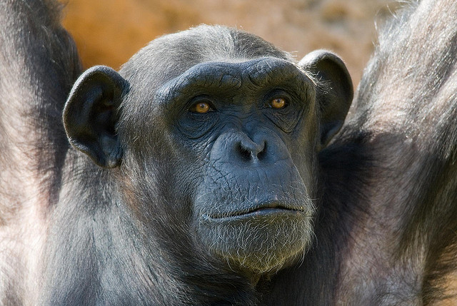 Great apes suffer mid-life crisis | Science Wire | EarthSky