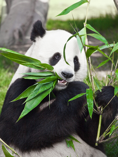 Pandas Foor Source Bamboo May Be In Trouble Science