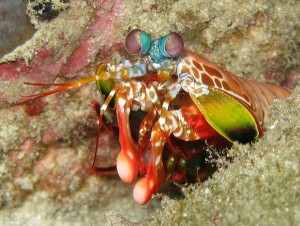 A peacock mantis shrimp, the most smashing of the smashers. Image: prilfish.