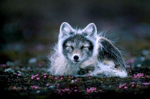 Arctic fox at Svalbard, Norway.